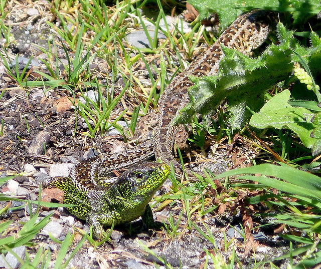Sand Lizard spotted in RSPB Arne