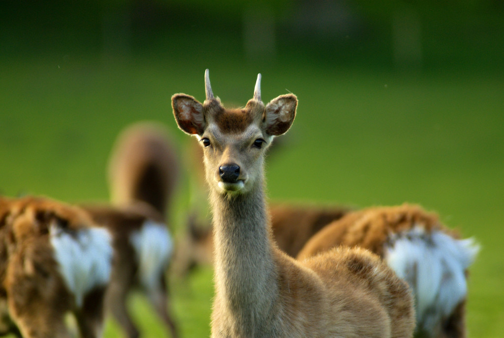 Siki Deer in RSPB Arne