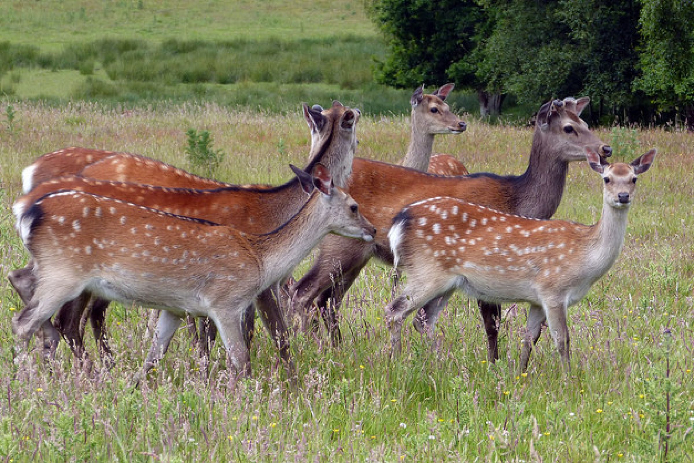 Deer at the RSPB nature reserve arne