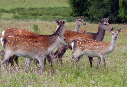 Deer at the RSPB nature reserve arne