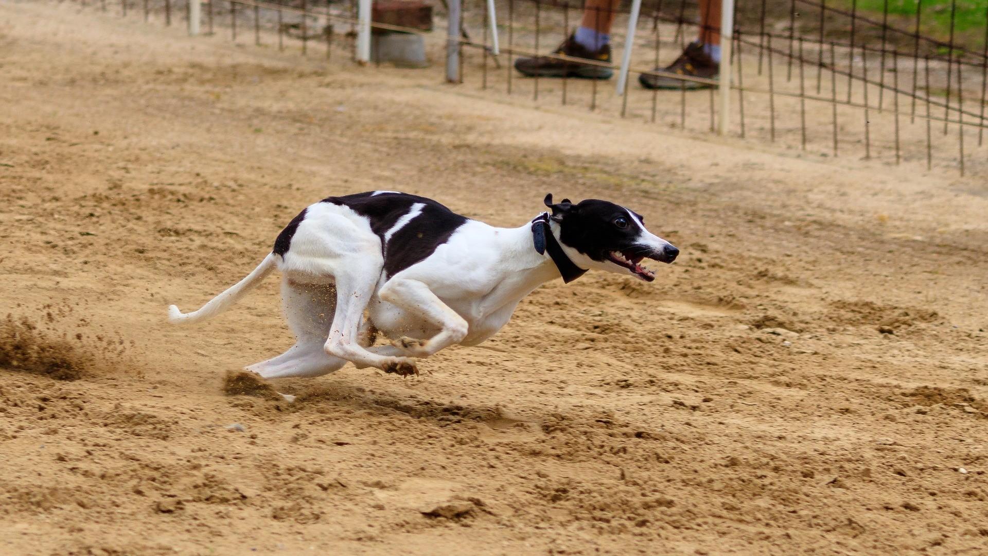 Poole Greyhound Racing dog