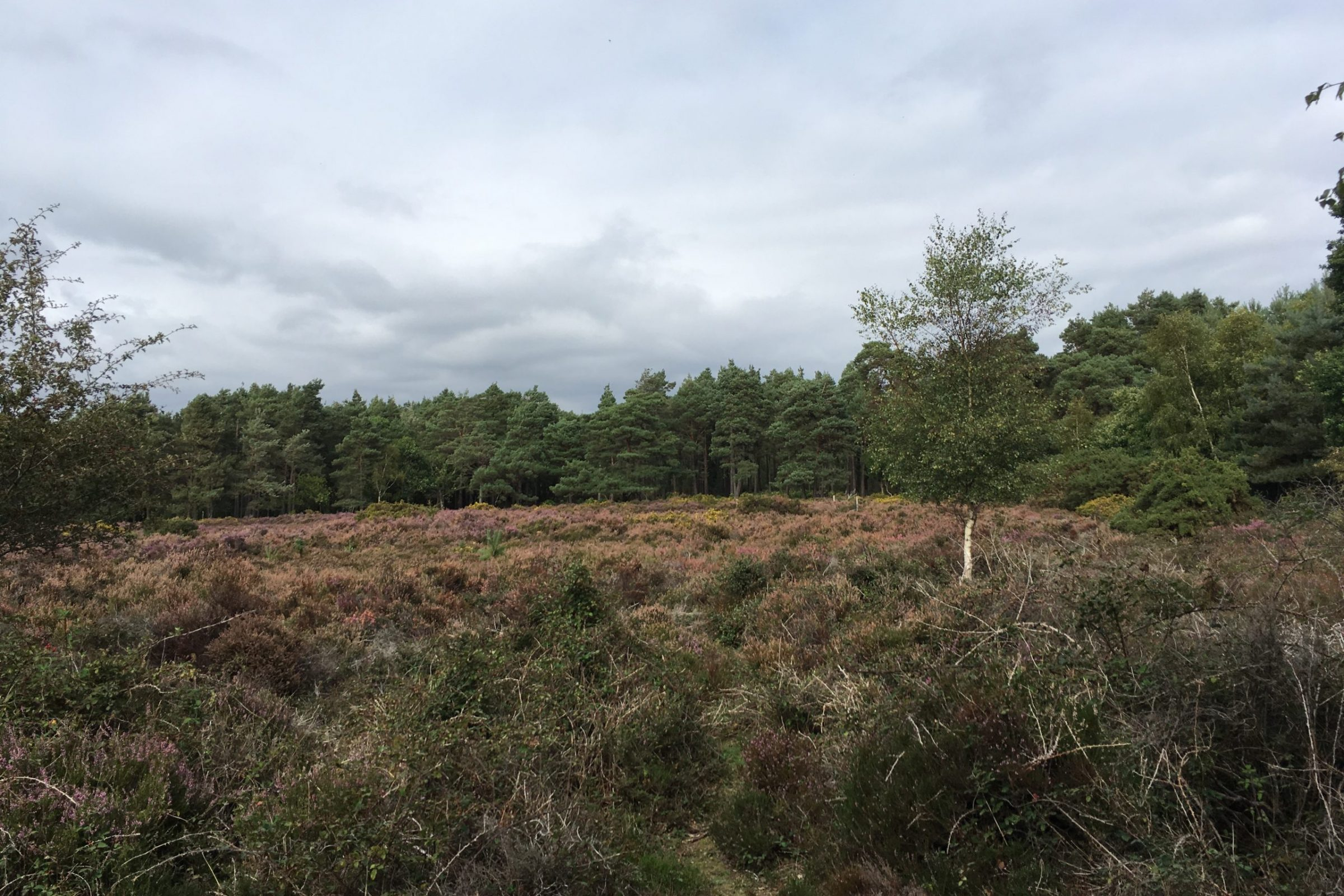 Brownsea island heathland