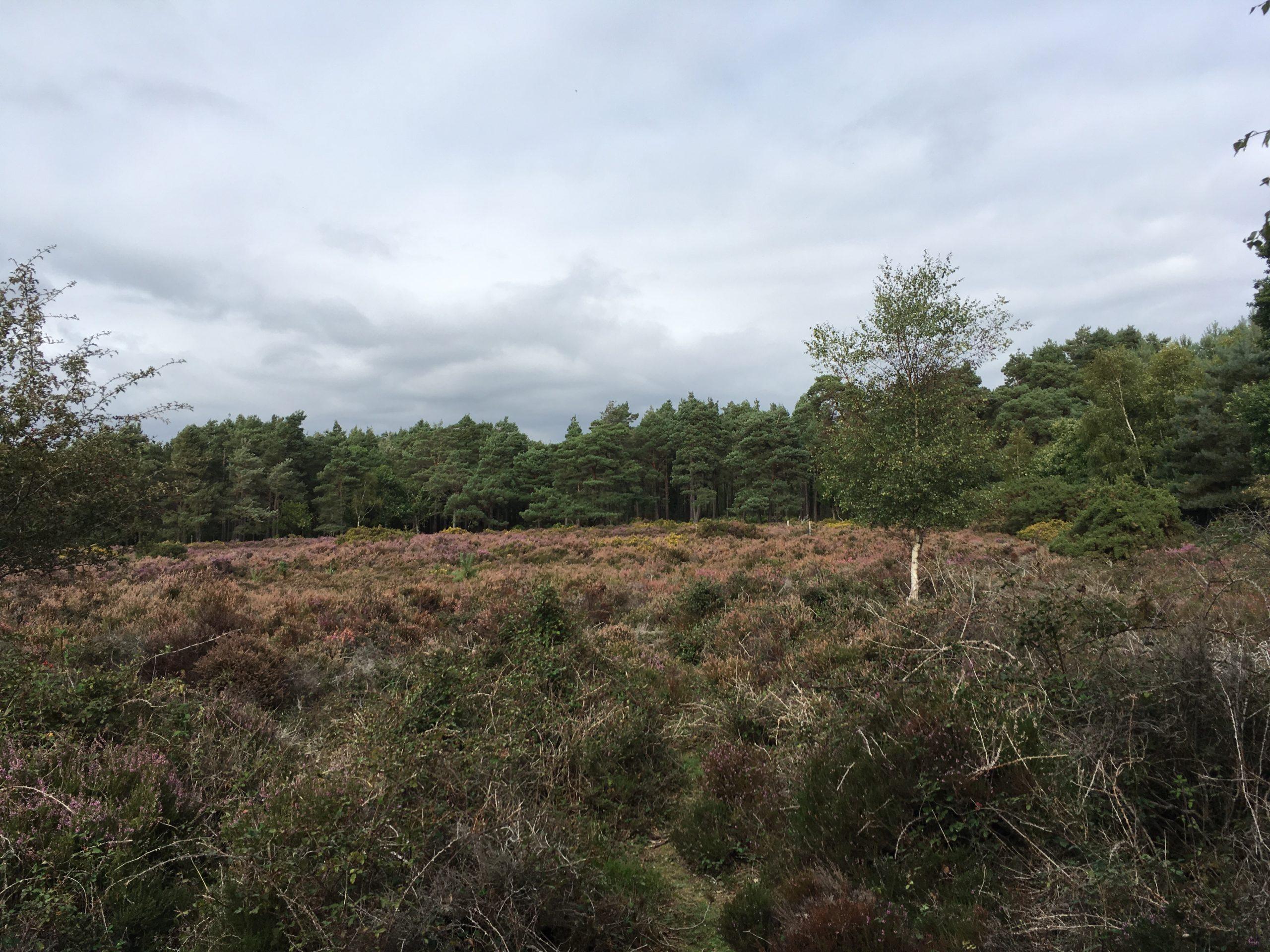 Brownsea island heathland
