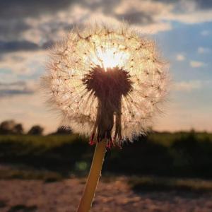 Instagram dandelion